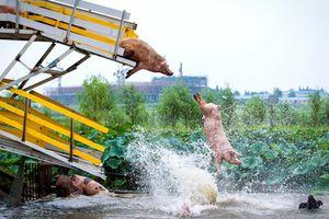 Lợn tập thể dục lọt top những bức ảnh động vật ấn tượng nhất năm 2017