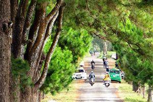 Con đường thôn với hàng thông cổ 100 tuổi đẹp ngất ngây
