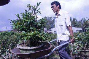 Mai Tết vùng lũ tăng giá ngay tại vườn