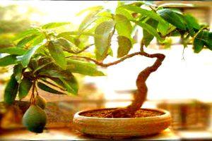 Chiêm ngưỡng những chậu xoài bonsai siêu độc đáo