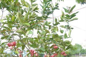 Độc đáo hoa kiểng trái cây vào chậu chưng tết ở miền Tây