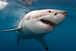 Cá mập trắng gây lo lắng cho dân Úc