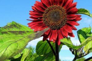 'Cơn sốt' hoa hướng dương đỏ rực: Chị em săn 'của lạ' trồng sau Tết