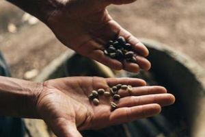 Giá nông sản hôm nay 22/2: Giá cà phê giảm nhẹ 100 đồng/kg, giá tiêu ít biến động