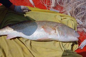 Một ngư dân ở Cà Mau nghi bắt được cá sủ vàng nặng 6kg