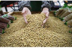 Đậu nành sẽ là trung tâm của cuộc chiến thương mại Trung - Mỹ