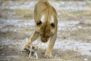Ảnh động vật tuần: Sư tử chăm sóc linh dương, đại bàng quyết chiến...
