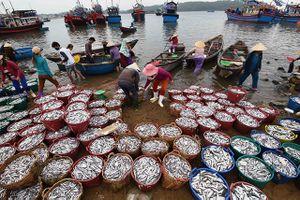 Quảng Ngãi: Đầu năm ngư dân trúng đậm cá cơm