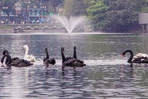 Vịt trời ở Hồ Gươm: Thiên nga phải 'tị nạn' thắc mắc