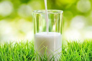 Không ngờ sữa dê còn tốt cho sức khỏe hơn cả sữa bò
