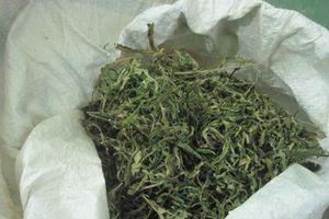 Hưng Yên: Nam sinh mang cả hoa lá cành cần sa đi bán