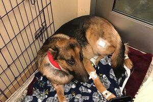 Chú chó nhận 4 phát đạn vì bảo vệ cậu chủ khỏi bọn trộm