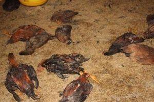 Gia Lai: Ăn thịt gà chết, cả làng nhập viện