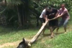 Thót tim màn giải cứu chó bị trăn siết chặt