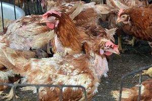 Ăn thịt gà chết, 25 người nhập viện cấp cứu nghi ngộ độc