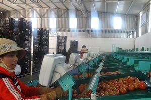 Hiệu quả cao từ chuỗi liên kết sản xuất rau khép kín