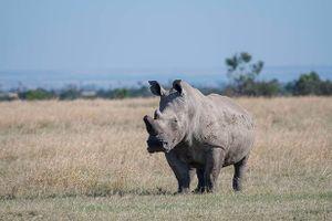 Tê giác trắng đực duy nhất trên Trái Đất 'lên mạng' tìm bạn tình