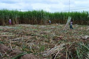 Nỗi lo thắt lòng trên những cánh đồng mía ở ĐBSCL