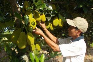 Người trồng mít Thái bội thu do giá tăng đột biến