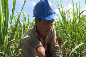 Hàng nghìn tấn đường tồn, nông dân Hậu Giang lo giá mía tiếp tục giảm