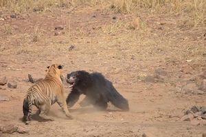 Gấu mẹ liều mình hỗn chiến với hổ dữ bảo vệ con