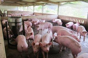 Dự báo giá heo hơi hôm nay 3/3: Giá lợn hơi mới nhất tại miền Bắc ổn định