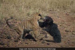 Gấu mẹ quyết chiến hổ dữ bảo vệ con gây xúc động