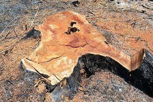 Bắt 5 đối tượng trong vụ phá 14 ha rừng Quảng Sơn