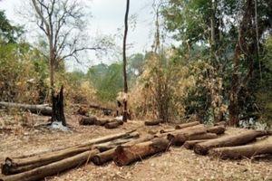 Lâm tặc lại đốn hạ gỗ trong vườn quốc gia