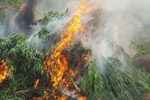 Hình ảnh tiêu hủy vườn cần sa được trồng trái phép