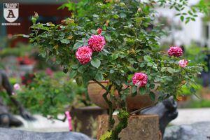 Ngắm hoa hồng bonsai trị giá cả trăm triệu đồng khoe sắc