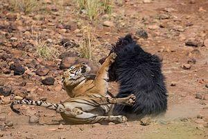 Gấu mẹ đại chiến đẫm máu với hổ để bảo vệ con