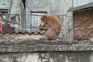 Khỉ hoang bắt gà, ăn trộm trứng, 'đại náo' khu dân cư ở Hà Nội