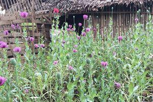 Hà Giang: Phát hiện người dân trồng hơn 1.000 cây thuốc phiện