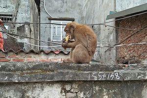 Khỉ hoang 'đại náo' khu dân cư ở Hà Nội