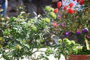 Ngày 8/3, đến ngắm hoa hồng màu xanh lá tại Lễ hội hoa hồng Bulgaria