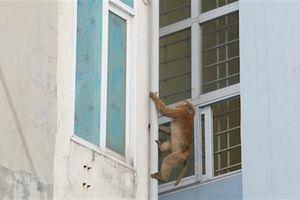 Khỉ phá nhà, dân Hà Nội bẫy bằng keo dính chuột