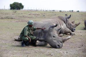 3 cá thể tê giác trắng phương Bắc cuối cùng còn sống trên Trái Đất