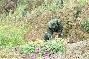 Đồn biên phòng Lũng Cú triệt phá hơn 1.000 cây thuốc phiện