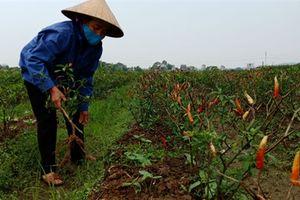 Nghi kẻ gian phá ruộng ớt: Người Việt lại hại nhau?