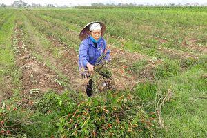 Truy tìm kẻ xấu phun thuốc diệt cỏ phá hoại ruộng ớt của nông dân xứ Thanh