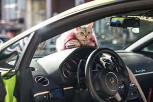 Siêu xe Lamborghini Gallardo dành cho mèo cưng tại Nhật
