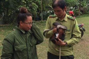 Quảng Nam: Người dân bàn giao cá thể Voọc chà vá chân nâu
