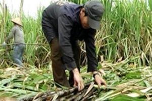 Đường tồn kho tăng, doanh nghiệp và nông dân gặp khó