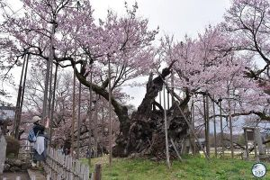 Mê mẩn trước 'cụ' anh đào 1.800 tuổi vẫn lung linh sắc hoa