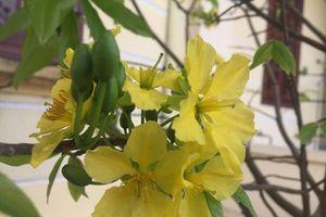 Hoa anh đào 'đọ sắc' cùng mai vàng Yên Tử trước ngày khai hội