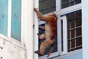 Đề xuất dùng súng bắn thuốc mê bắt hai con khỉ quậy phá khu dân cư