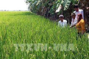 Kiên Giang: Giống lúa Nhật giúp xã viên làm giàu