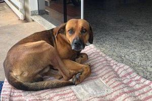 Chú chó nằm chờ người chủ quá cố trước cửa bệnh viện ròng rã 4 tháng