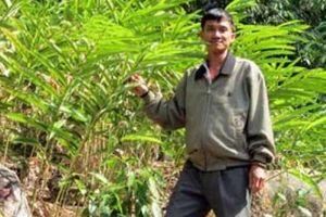 Trồng đinh lăng, rễ bán giá từ 300 ngàn đến 2 triệu đồng/kg khô